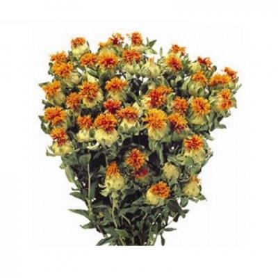 Carthamus 60cm orange